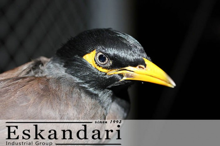 عکس مرغ مینا - نگهداری مرغ مینا به عنوان پرنده خانگی