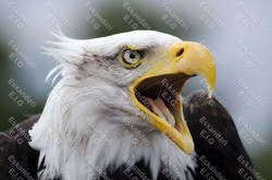 عقاب سرطاس