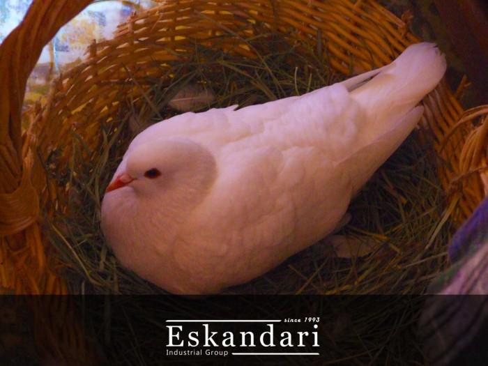 لانه سازی و تخمگ گذاری کبوتر