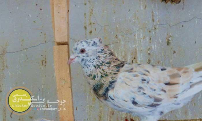 کبوتر هفت رنگ