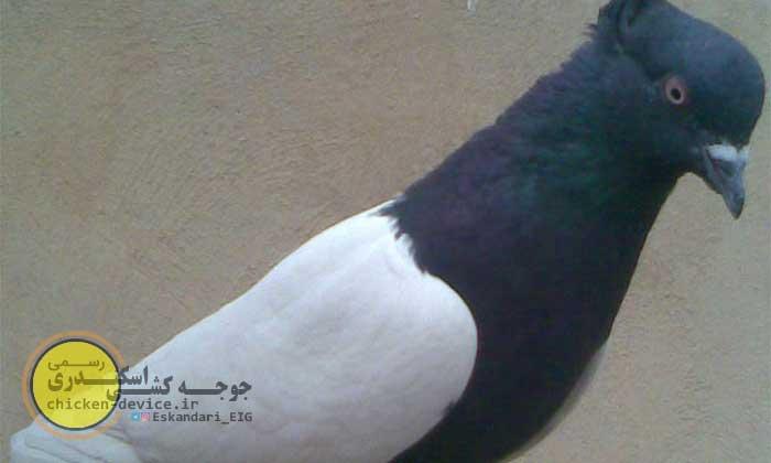 معرفی کبوتر دم سیاه