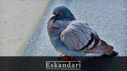 کبوتر نقش باز