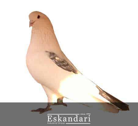 نکات کاربردی در هنگام تو لک رفتن کبوتر