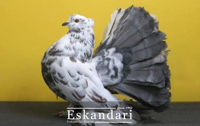 اصطلاحات کبوتر بازی بخش چهارم