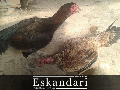 مرغ و خروس لاری