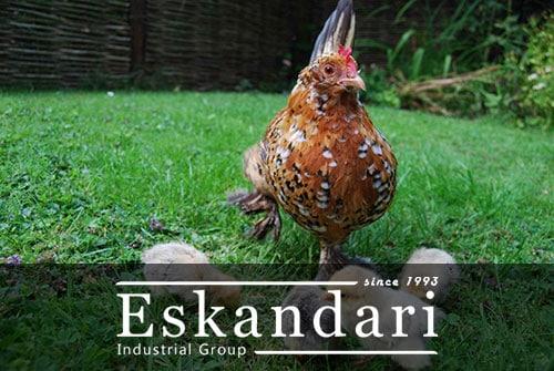 افزایش بازدهی جوجه کشی در مرغ
