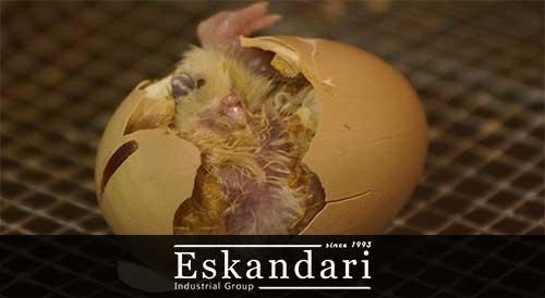 روش جوجه کشی از تخم بوسیله دستگاه جوجه کشی