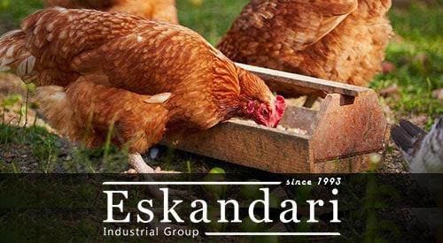 تهیه جوانه دانه ها برای تغذیه طیور - مرغ درحال تغذیه