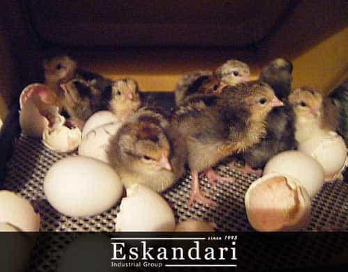 روش جوجه کشی از تخم بوسیله دستگاه جوجه کشی - بلدرچین یکروزه
