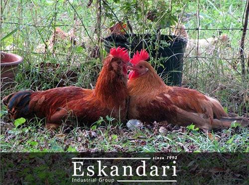 افزایش بازدهی جوجه کشی در مرغ و خروس - تصویر مرغ و خروس