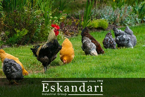 افزایش بازدهی جوجه کشی در مرغ و خروس
