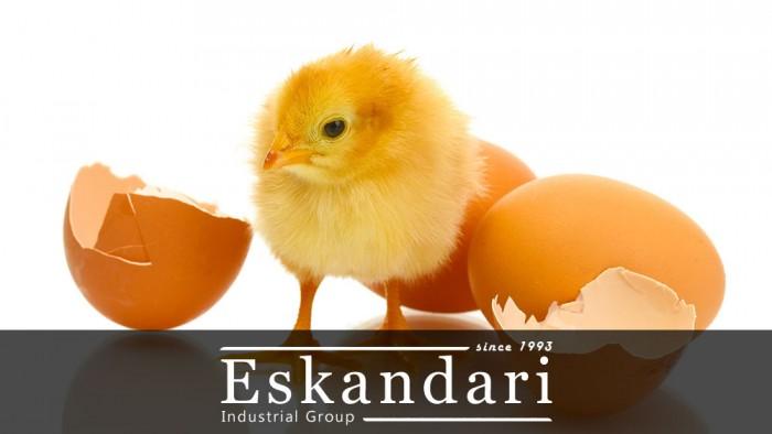 جوجه گیری از انواع تخم مرغ نطفه دار - جوجه خارج شده از تخم