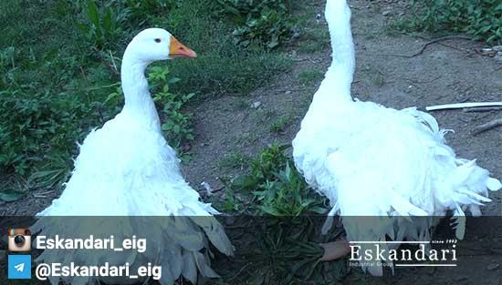 جوجه کشی از غاز - راهنمای پروش غاز در منطقه آذربايجان