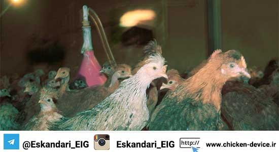 آماده نمودن سالن پرورش مرغ بومی