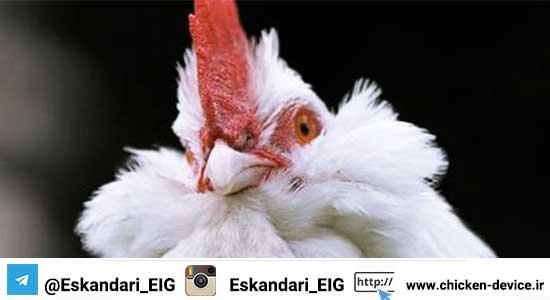 مرغ مرندی - پرورش مرغ بومی