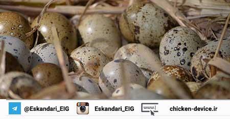 پرورش تخم بلدرچین ژاپنی