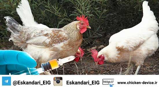 کنترل بیماریها در مرغ بومی