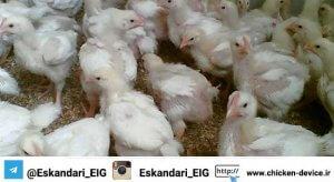 گله پرورش مرغ بومی