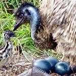 شترمرغ استرالیایی EMU