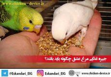 تغذیه-مرغ-عشق