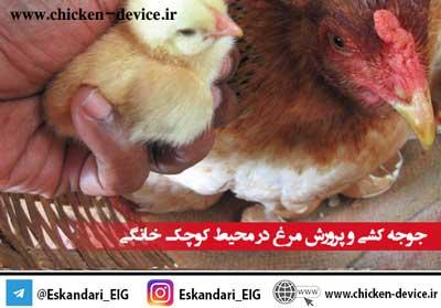 جوجه کشی و پرورش مرغ در محیط کوچک خانگی