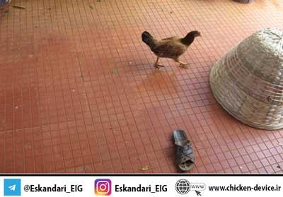 پرورش مرغ خانگی