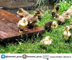 پرورش اردک به صورت صنعتی