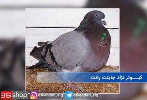 کبوتر نژاد جاینت رانت