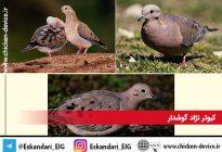 کبوتر نژاد گوشدار