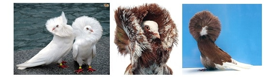 کبوتر نژاد جاکوبین