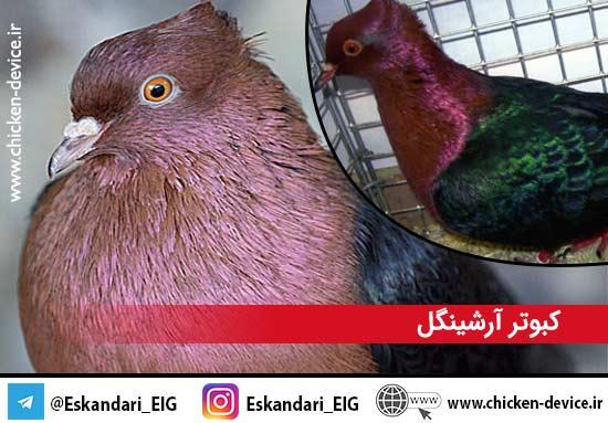 کبوتر آرشینگل