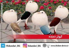 کبوتر_دمنده