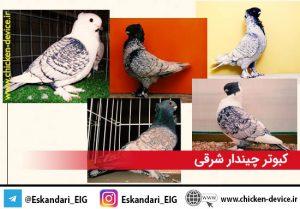 نژاد های کبوتر ، کبوتر چیندار شرقی