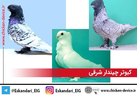 کبوتر چیندار شرقی
