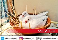 white-king-pigeon