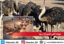 جوجه کشی شترمرغ یزد شهرستان تفت