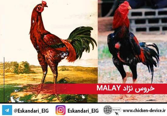 خروس نژاد MALAY
