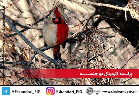 پرنده کاردینال دوجنسه