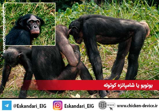 بونوبو یا شامپانزه کوتوله