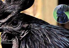 آشنایی با نژاد خروس سیاه