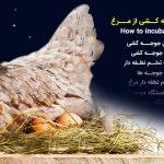 آموزش جوجه کشی مرغ فارسی و جامع