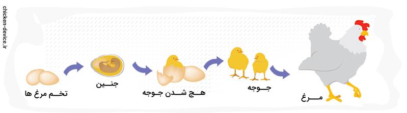 مهم بودن آموزش مناسب در جوجه کشی مرغ