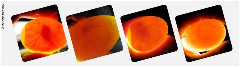تشکیل رگه خونی در تخم نطفه دار جوجه کشی