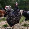 مرغ نژاد بارنی ویلدر Barnevelder100.100