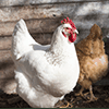 مرغ نژاد لگرن100.100. Leghorn chicken breed