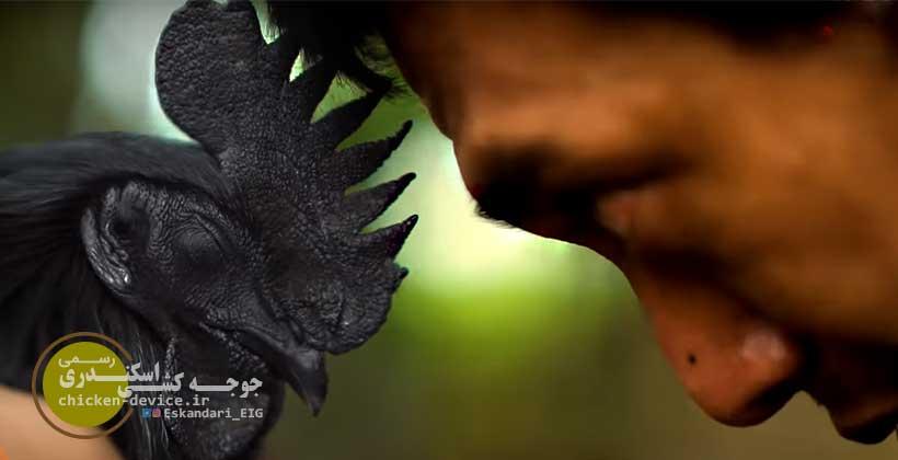 تاریخچه پیدایش خروس سیاه