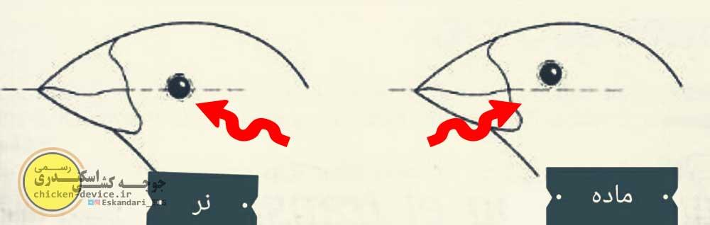 خط چشم در تشخیص جنسیت