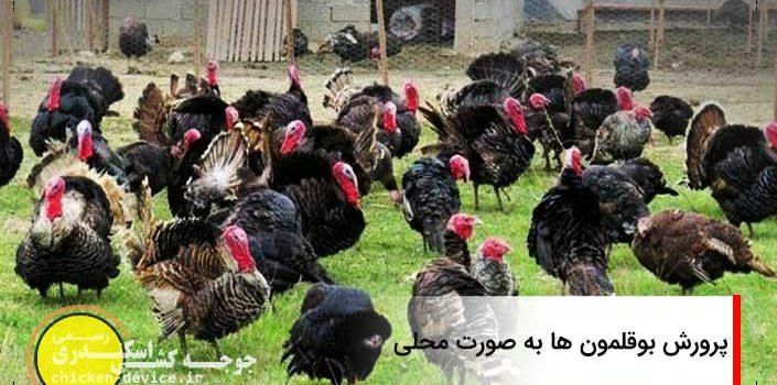 local-turkey