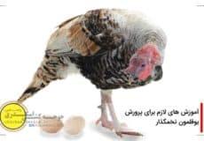 پرورش بوقلمون تخمگذار