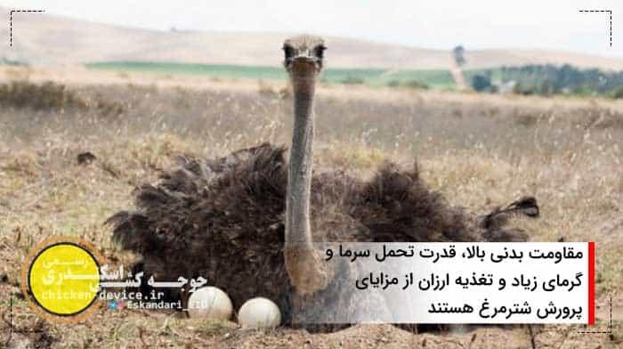 مزایای پرورش شترمرغ